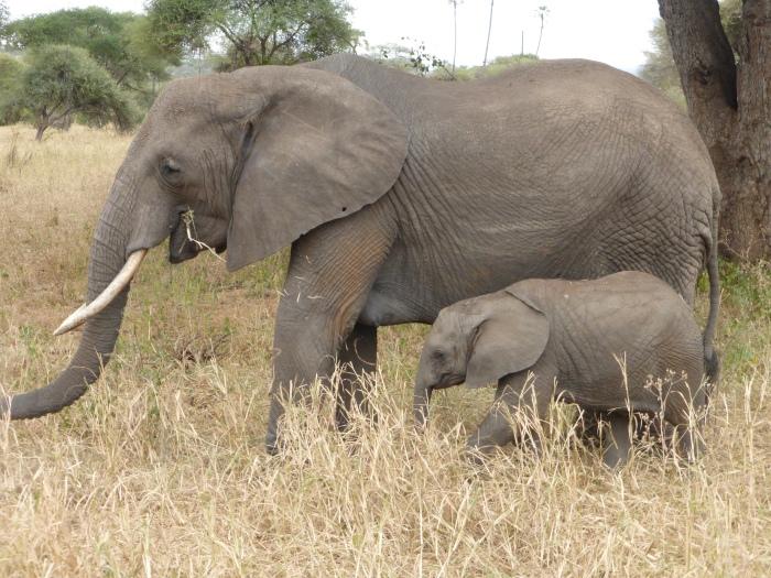 tarangire-elephants-001